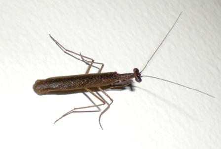 Baby Burying Mantis - in my house a month ago.