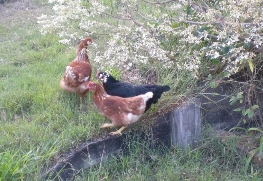Chickens?