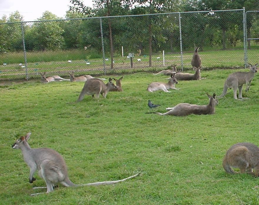 Cuddly Friendly Kangaroos