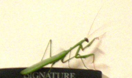 Garden Mantis