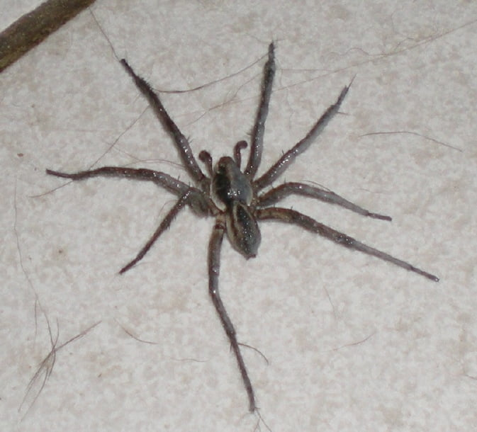 Australia funnel web spiders for How to stop spiders coming in your house