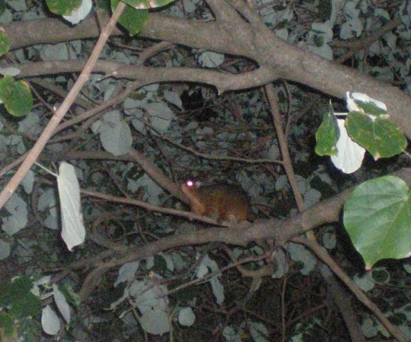 possum 5