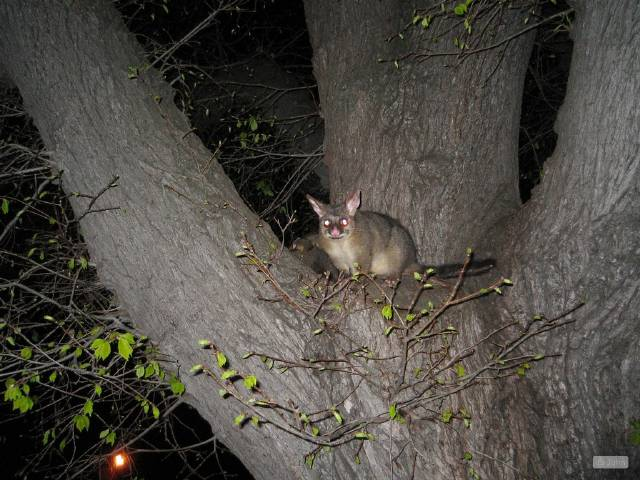 possum picture