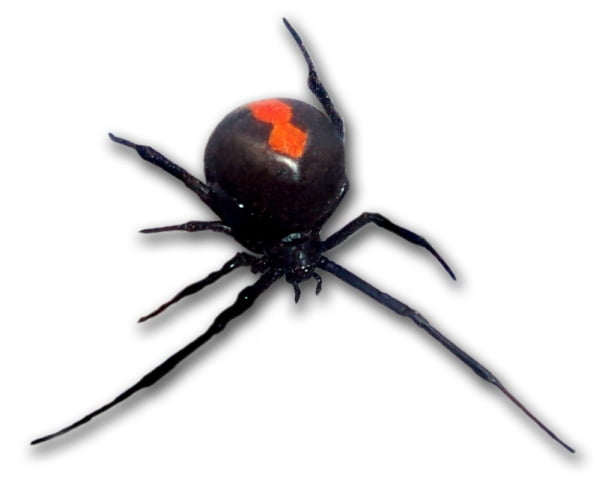 bitten by a redback spider in australia ouch but what s. Black Bedroom Furniture Sets. Home Design Ideas