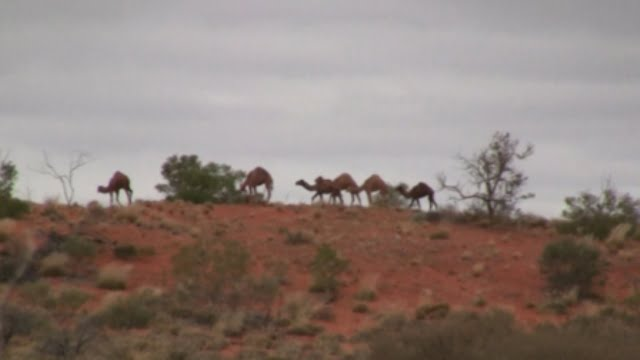 Wild Camels in Central Australia