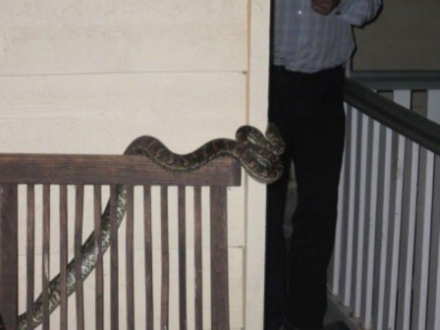 6 foot carpet snake