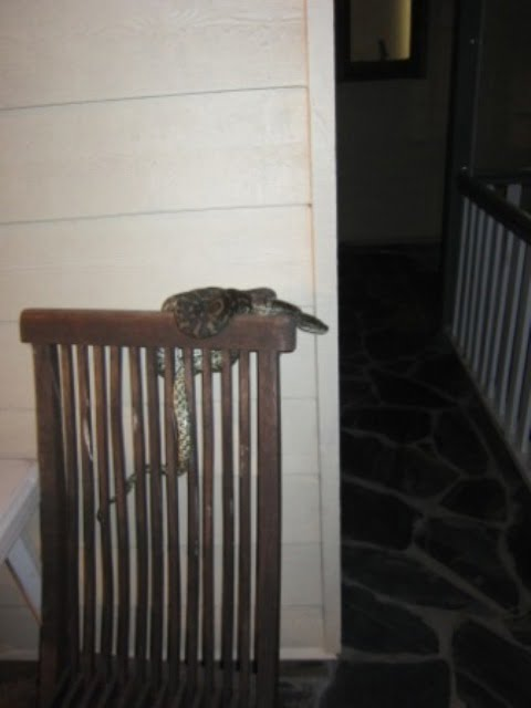 Carpet snake on a chair