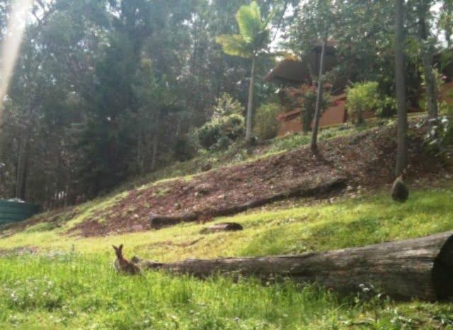 Wild kangaroos