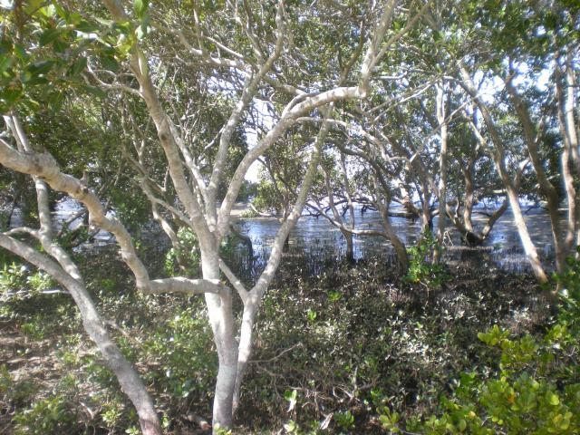 More mangrove