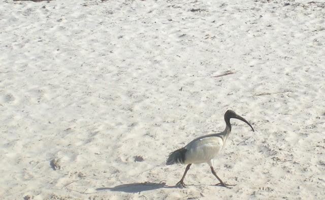 Ibis on the beach