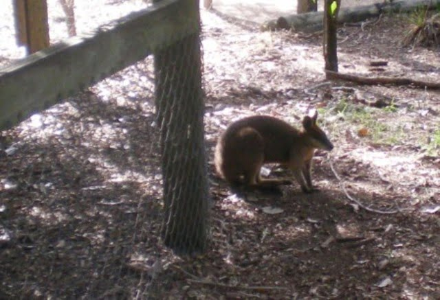 wallaby close-up