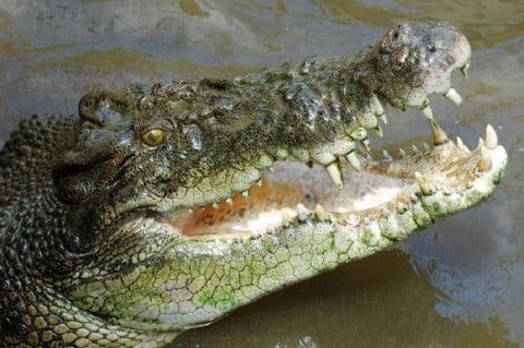 Darwin salt croc