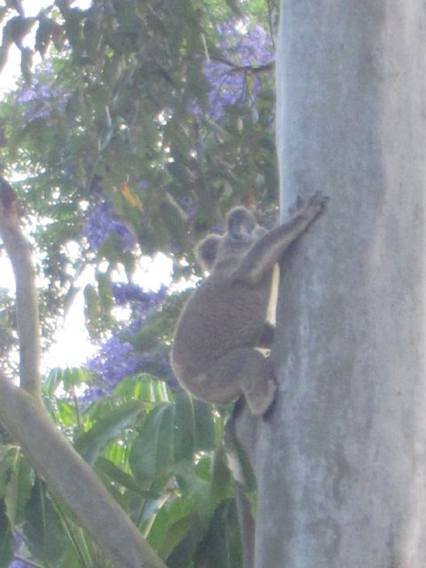 koala nearly there