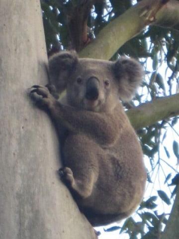 koala stare