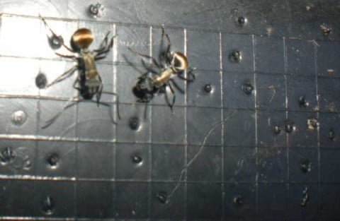 Golden-tailed Spiny Ants