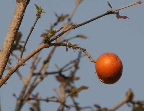 strychnine tree
