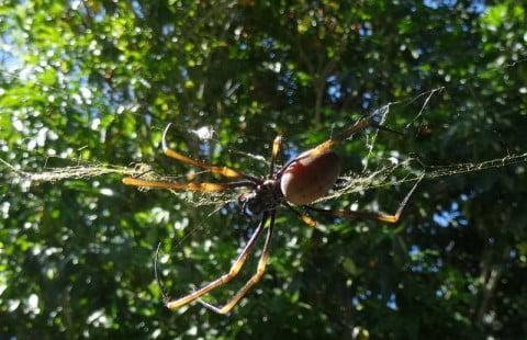 spider 1c