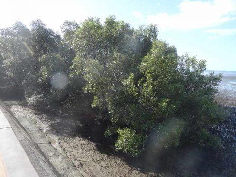 mangroves (4)