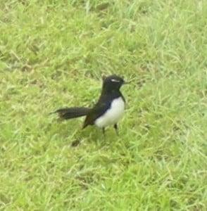 An Australian Lawnmower Loving Bird