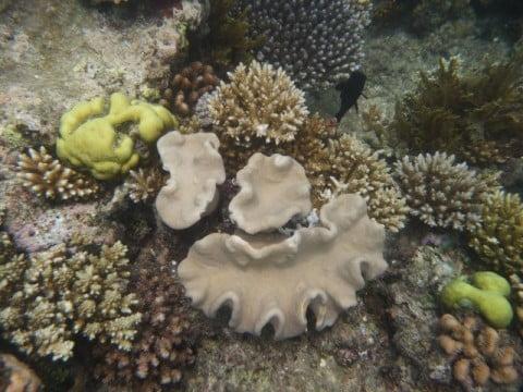 Elephant Ear Coral