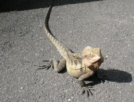 Southern Angled Head Dragon