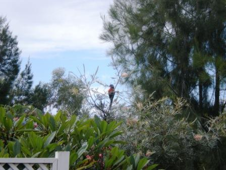 A lorikeet in my front garden last week.