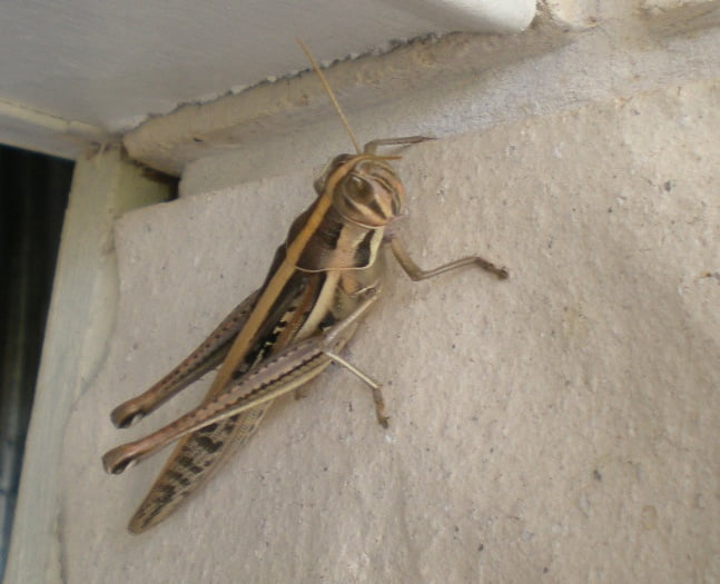 Hedge Grasshopper