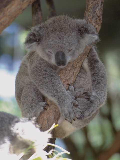 A Cute Koala