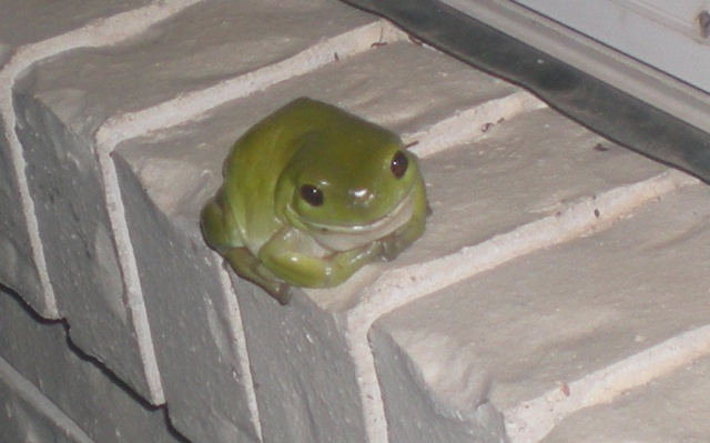 Our Green Tree Frog