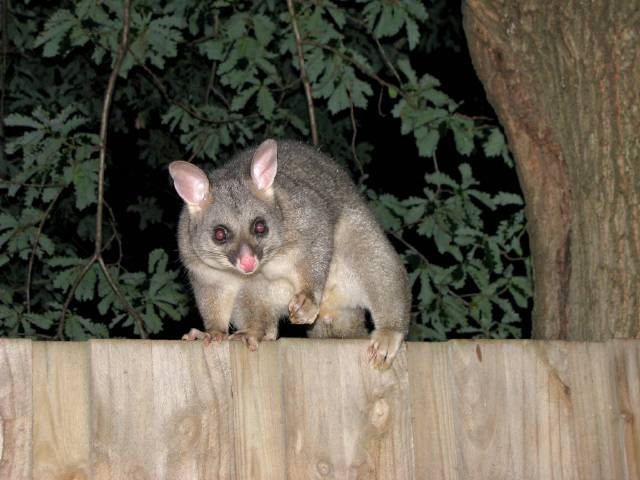 Possums Compared to Opossums: What's the Difference?