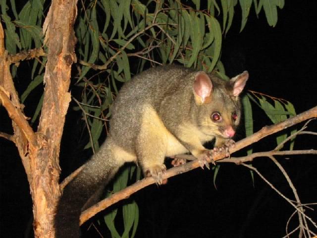 wandering possum