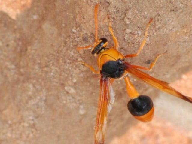 potter wasp Australia