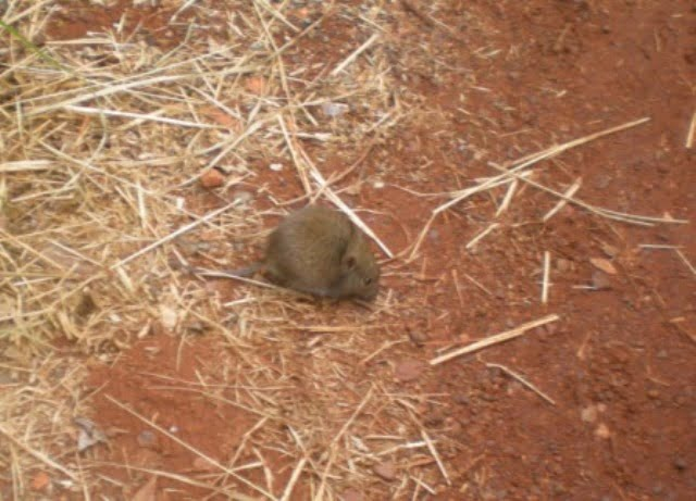Mouse, Spinifex or Vole?