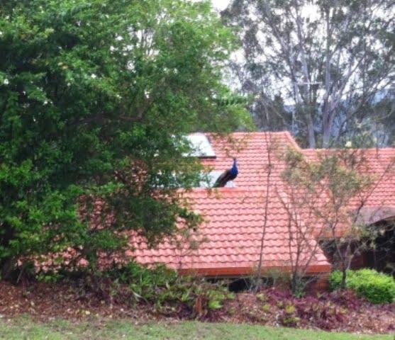 wild peafowl on roof