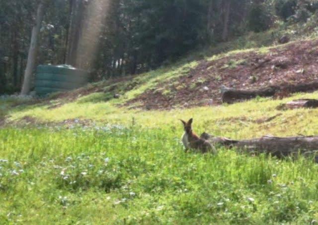 suburban kangaroo