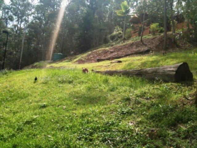 a pair of suburban kangaroos