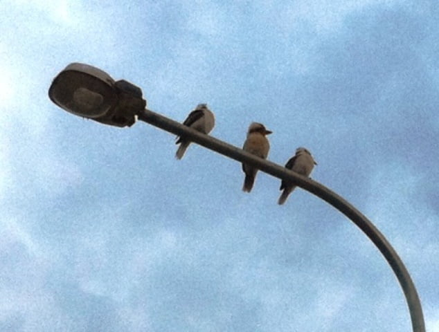 chatting kookaburras