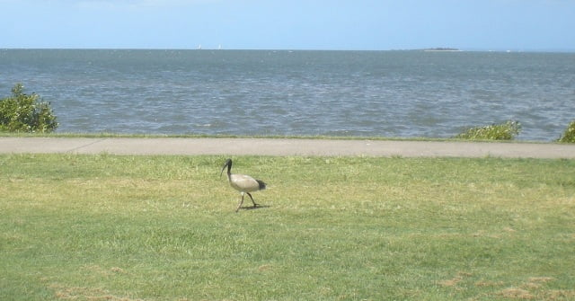 Ibis by the sea