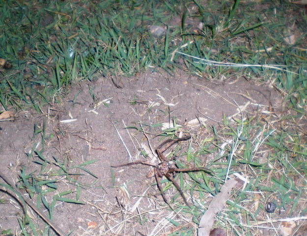 Huntsman spider released