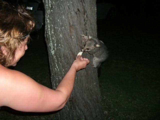 A wild possum