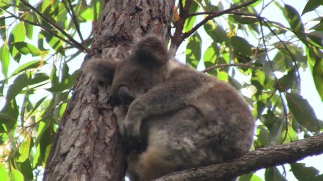 a naturally wild koala