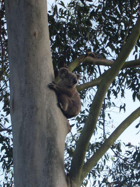 koala there at last