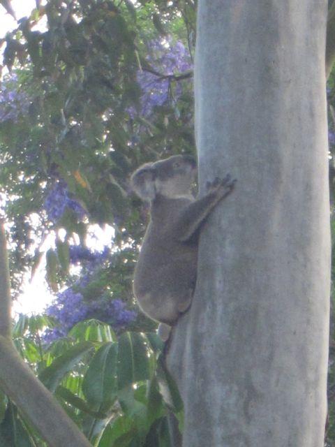 koala still climbing