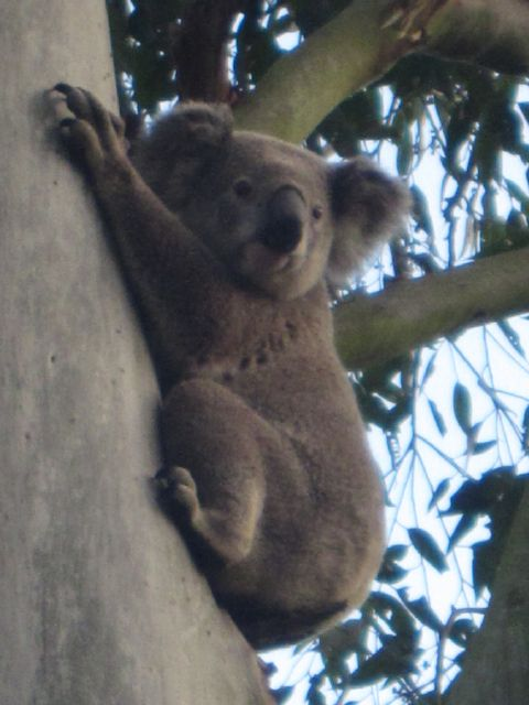 koala looking around