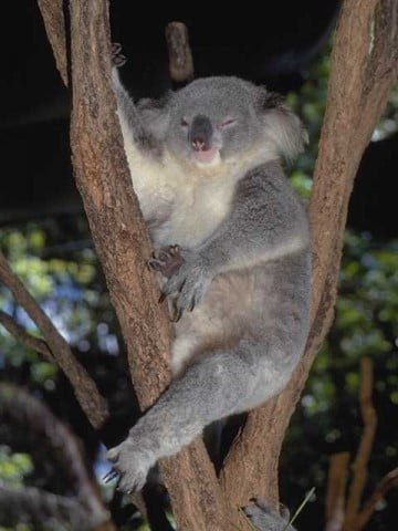 A cuddly koala