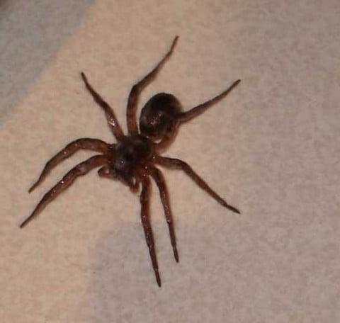 The Australian Wolf Spider: Is It Dangerous?