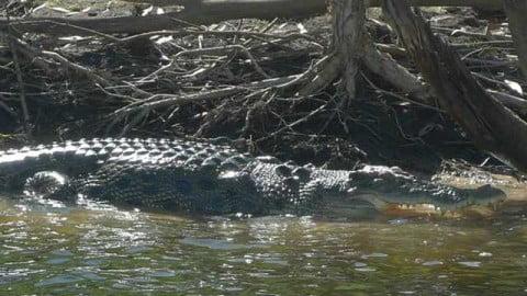 8 Kakadu croc
