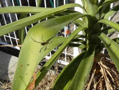 green stripey spider