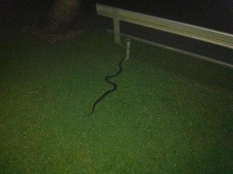 snake 2012