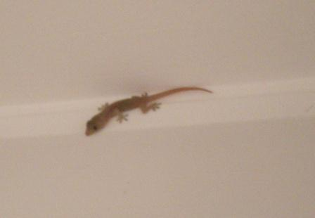 baby-gecko